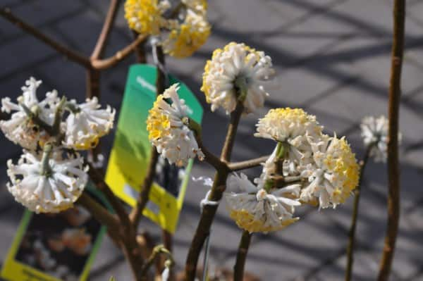 Papierstrauch (Edgeworthia crysantha)