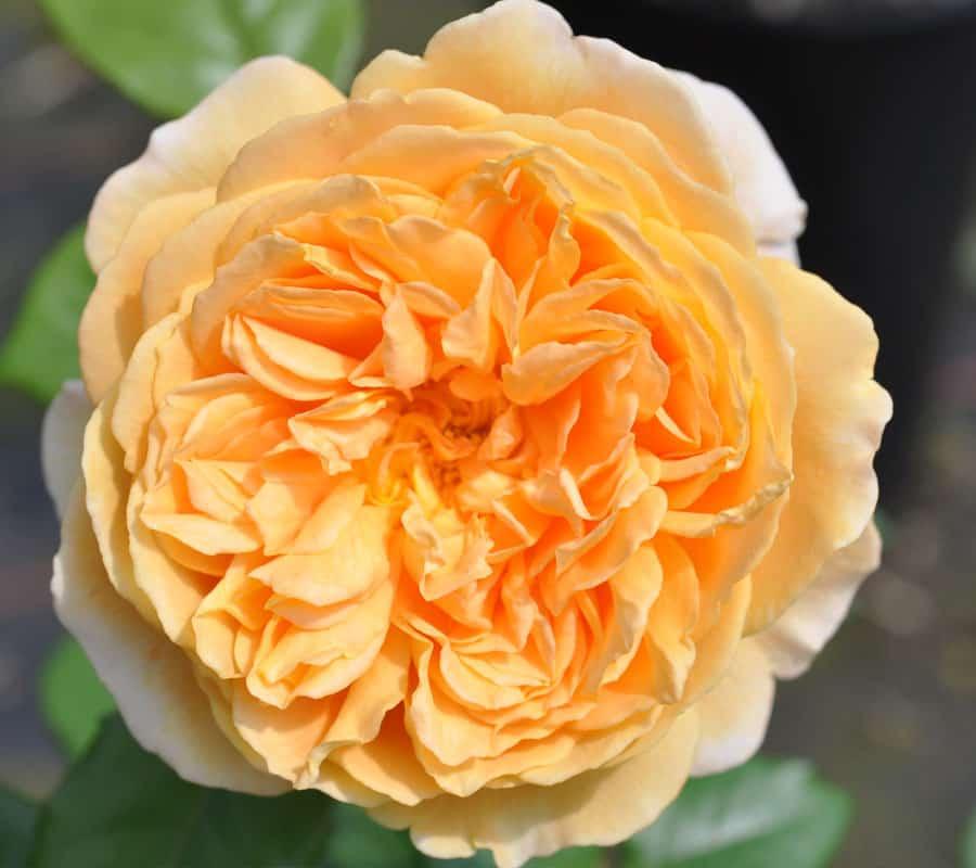 Historische- und englische Rosen