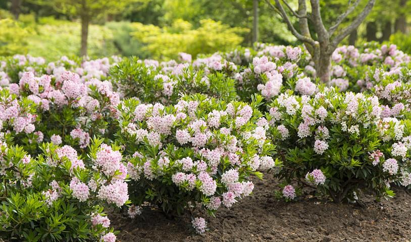 ... bloombux ist unser neue star unter den kübel und heckenpflanzen als