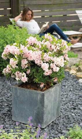 bloombux k bel und heckenpflanze mit bl tenpracht. Black Bedroom Furniture Sets. Home Design Ideas