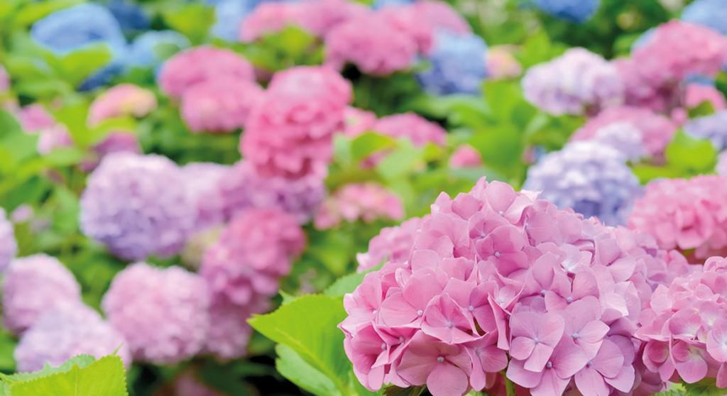 hortensien die bl tenpracht f r jede jahreszeit pflanzencenter warnkenpflanzencenter warnken. Black Bedroom Furniture Sets. Home Design Ideas