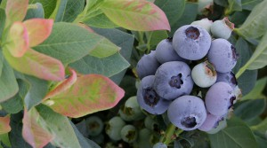 csm_zJP_Website_BrazelBerries_Header_4_e02715b503