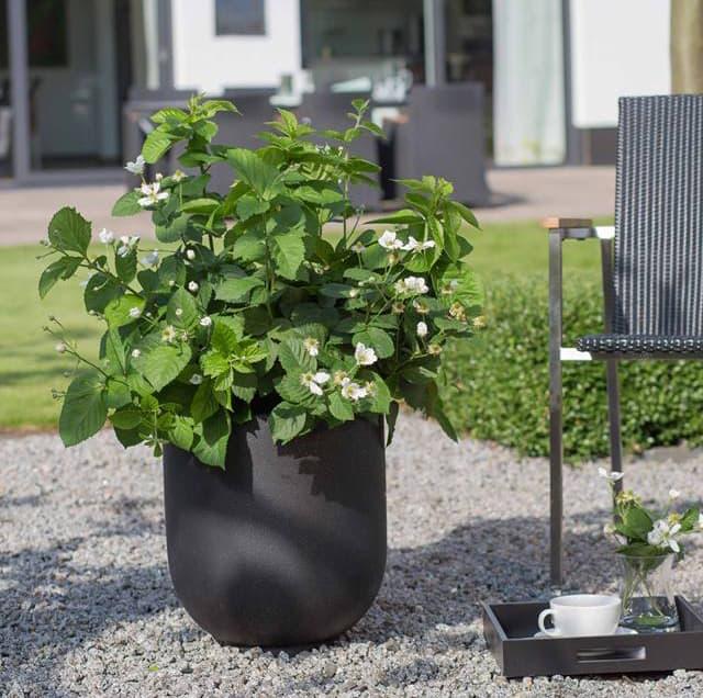 die brazelberries sind wieder da jetzt auch als. Black Bedroom Furniture Sets. Home Design Ideas