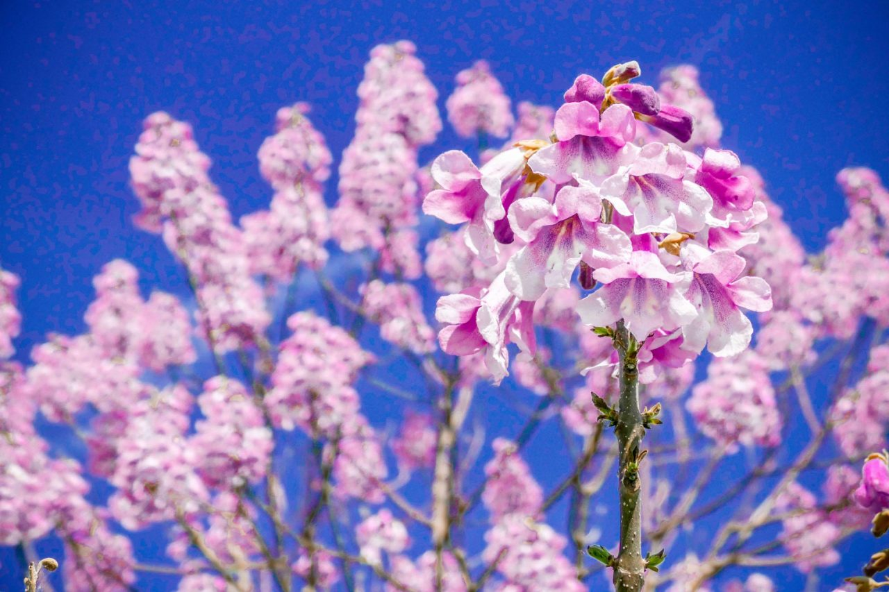 Kiri-Baum, der Co2-Klimabaum