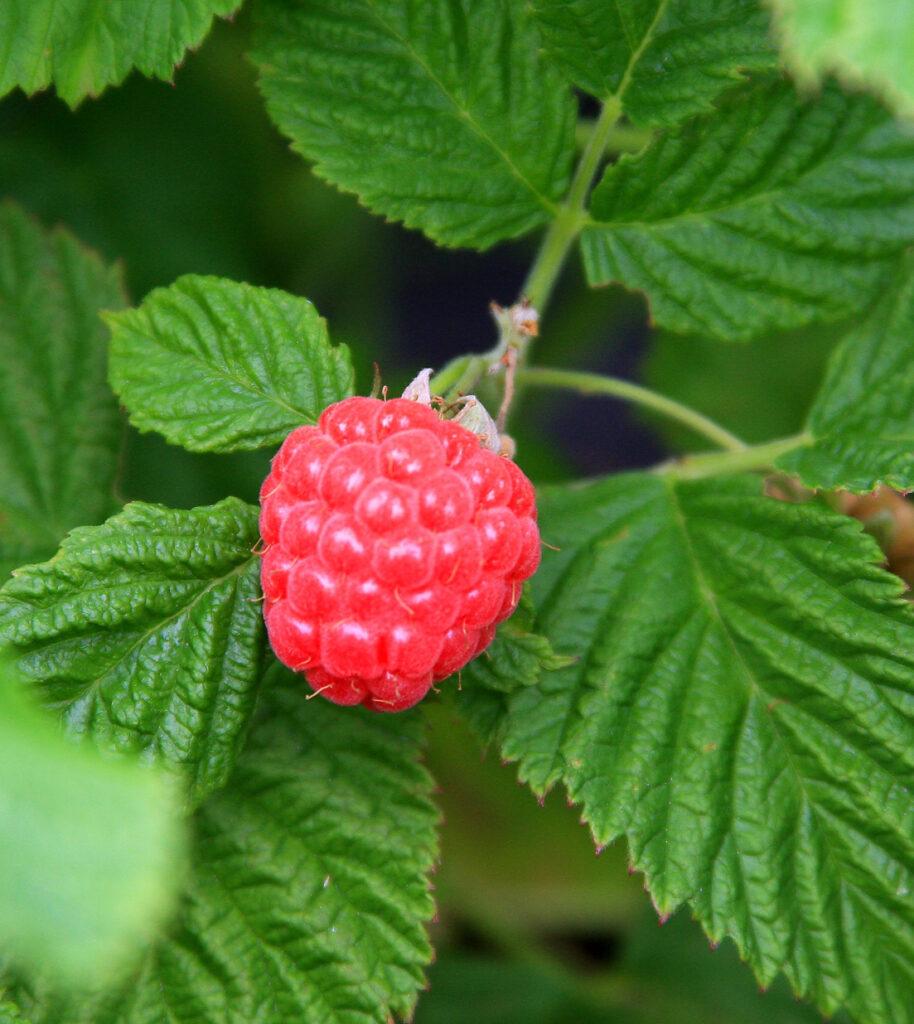 BrazelBerry®Raspberry-Shortcake-Detail-Beere