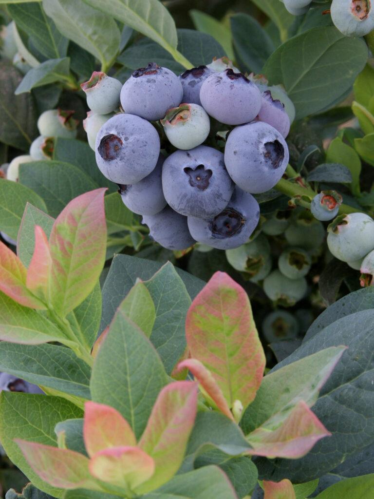 Beerenobst Brazel Berry Pin Breeze Warnken Pflanzen Wardenburg Landkreis Oldenburg