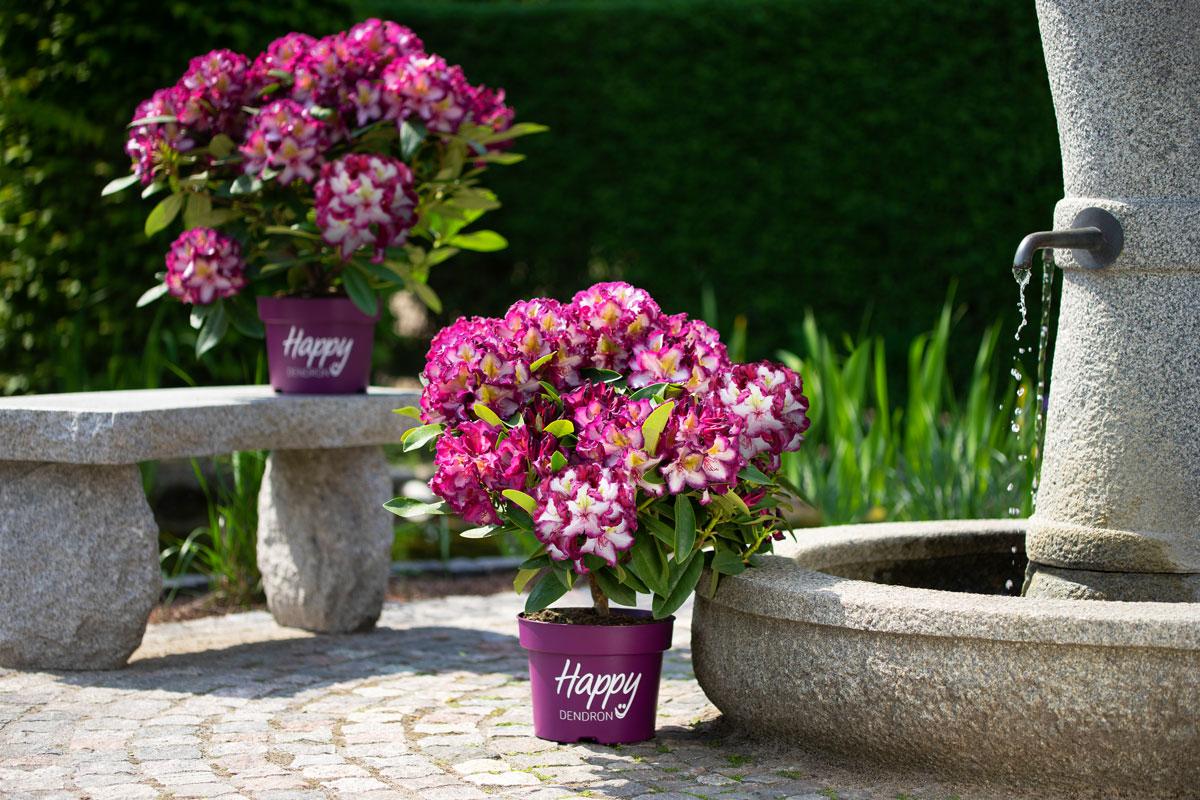 Der pflegeleichte Rhododendron Happydendron® Pushy Purple®