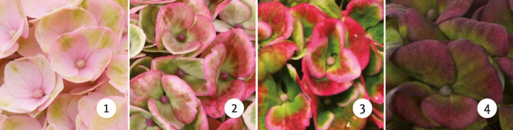 Hortensien Magical Revolution pink Warnken Pflanzen Wardenburg