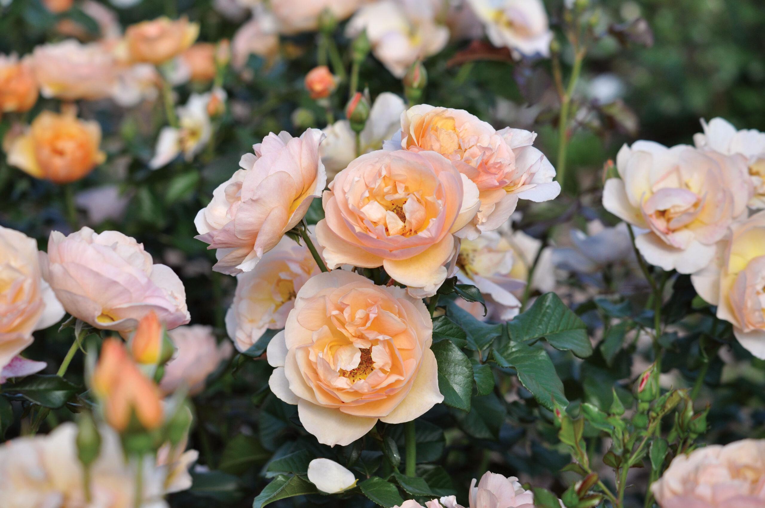 Essbare Rosen – betörend schön und unglaublich lecker