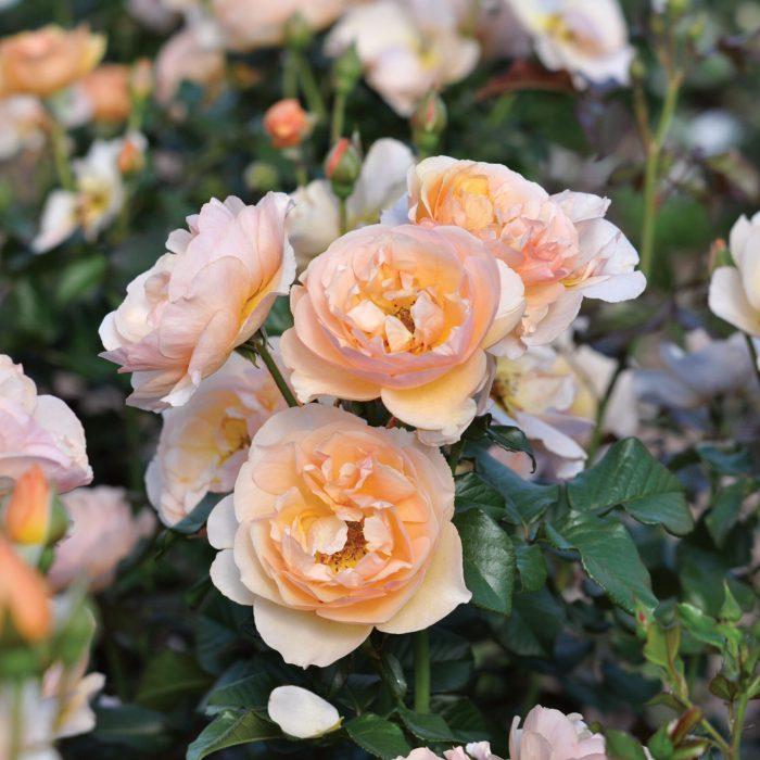 Essbare Rose Pflanzencenter Warnken Oldenburg Landkreis Wardenburg