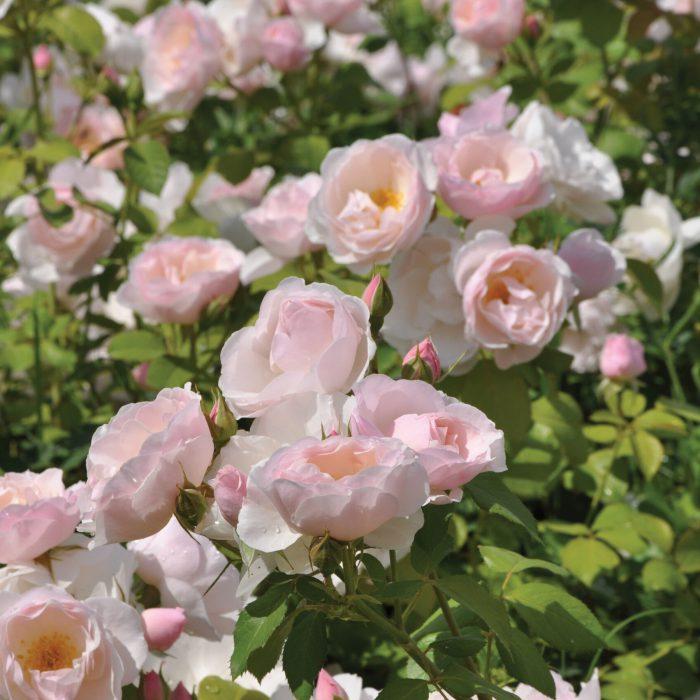 Rosa Pear die essbare Rose - Warnken GartenBaumschule Wardenburg