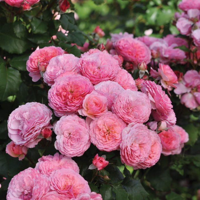essbare rosen warnken oldenburg